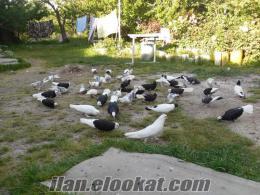 izmir de satılık güvercin
