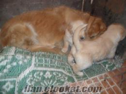 izmirden satılık yavru golden redriever