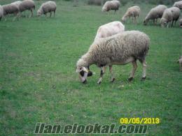 üreticisinden satılık koyun sürüsü
