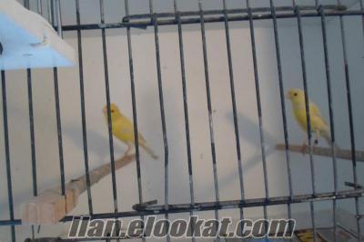 İstanbul bayrampaşa da sahibinden satılık kanarya kuşları