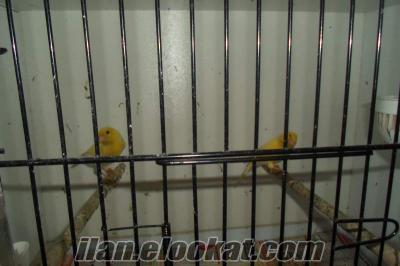 İstanbul Bayrampaşadan sahibinden satılık kaNarya kuşları