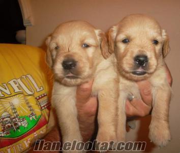 satılık bebek yuzlu golden retriever yavrulari
