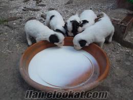 izmirin tire ilçesinde sabihinden satılık cıns fino köpek