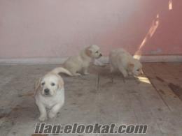 eskişehirde sahibinden satılık golden yavru köpekleri