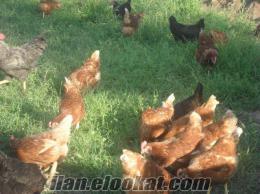 köy yumurtası gurk tavuk
