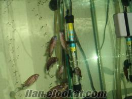izmirde satılık tropheus red rainbow kasanga