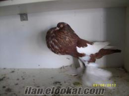 bursa sahibinden satılık süs kuşları