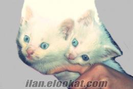 bilecikten sahibinden satılık van kedisi