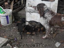 yalova çınarcıkta sahibinde satılık av köpekleri