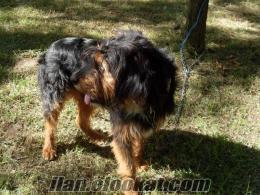 15 aylık satılık barak av köpeği