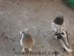satılık taklacı güverciler
