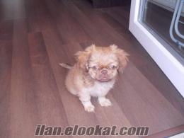 Pekiness cinsi yavru köpek satılık