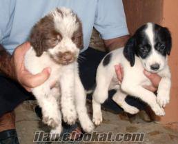 Sahibinden satılık Av Köpekleri