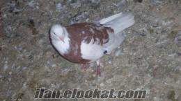 İzmir karabağlar satılık güvercinler