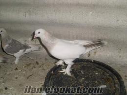 istanbulda satılık güvercin kağıthanede