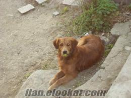 Büyükçekmecede kayıp golden köpek