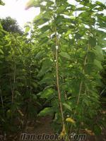Satılık bitki, meyve, asma aşı, bitkiler gül