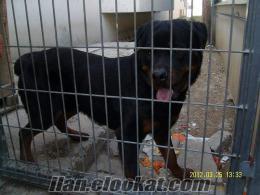 Adanada Satılık Rottweiler yavruları