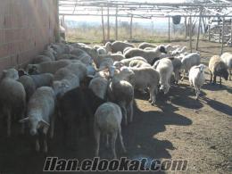satılık prıt cinsı koyun kuzu