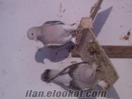 balıkesirde karabaş kaplama ve karakuyruk satılık kuşlar