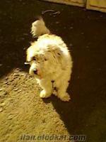 satılık süs köpeği