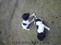satılık pointer av köpekleri