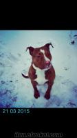 istanbulda çalınan köpek (bella) aranıyor