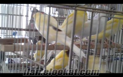 Antalyada acil satılık 150 adet kanarya