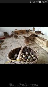 Ciftlikten Bıldırcın yumurtası (kuluckalik-yemeklik)