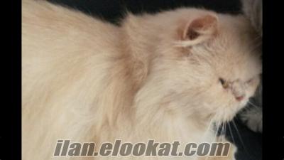 İstanbul da İran Persian kedimii sahiplendirecegim