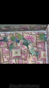 11 yavru 4 cift sevda papagani