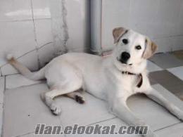 Bursada sahibinden 6 aylık beyaz Labrador kızımız satılık
