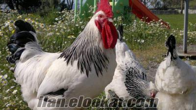 Satılık süs tavuk ve Civcivleri