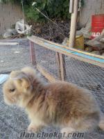 Manisa merkezde satılık 25 günlük lop ve aslan baş melezei 2 adet tavşan satılık