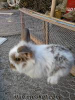 manisada satılık yavru tavşanlar