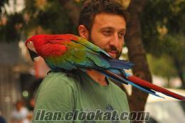 Son Derece Evcil Ve GEVEZE ara papağanı
