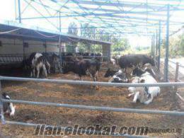 devran hayvancılık damızlık inekler ve gebe düveler