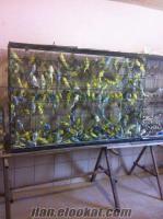 muhabbet kuş 13 bülbül 7 tl