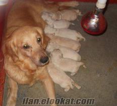 bursa köpek eğitim merkezinden GOLDEN yavrularımız