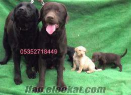 satılık Labrador Retriever yavruları hizmetiniz