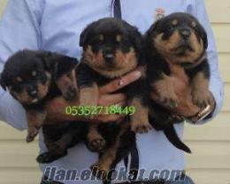 rottweiler yavrularımız Bursada