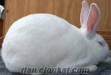 Balıkesirde Sahibinden Satılık Damızlık Tavşan