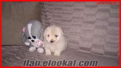 satılık terrier yavruları kıvırcık