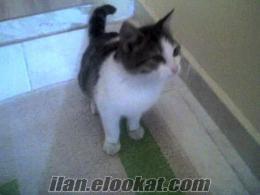 antalyadan 4 aylık tekir, erkek yavru kedi