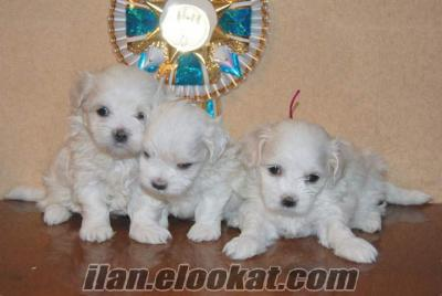 sifir numara kar beyaz maltes terrier yavrulari