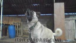 lüleburgazda satılık kangal köpeği
