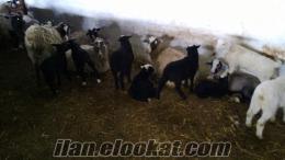250 Adet İthal Safkan Romanov Koyun Çiftliği
