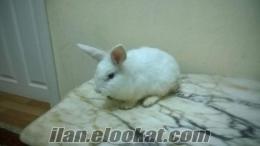istanbuldan eğitimli lop tavşanı
