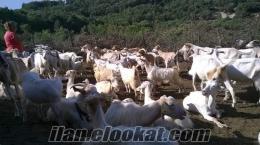 Bayramiç satılık keçi