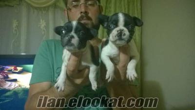 french bulldog yavruları